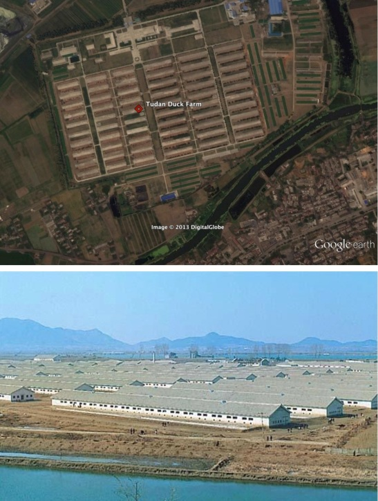 The Pyongyang Tudan Duck Farm in east Pyongyang, where an outbreak of avian flu was discovered in mid-April 2013 (Photos: Google image and KCNA/FLPH file photo)